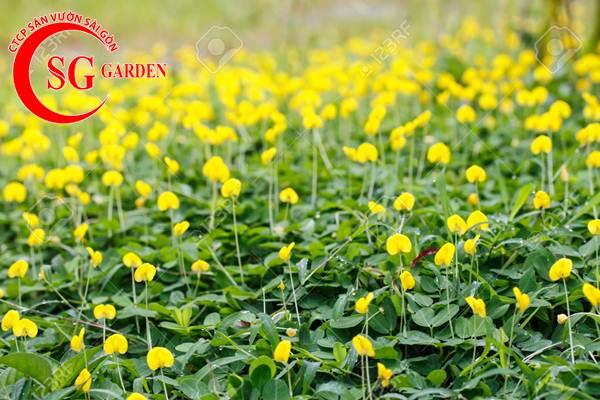 cỏ đậu phộng 9