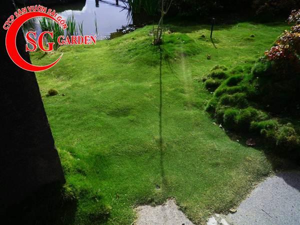 cỏ lông heo 11