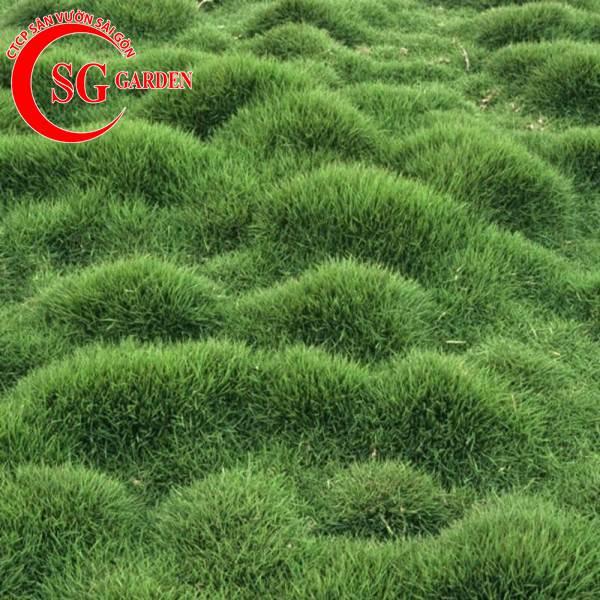 cỏ lông heo 5