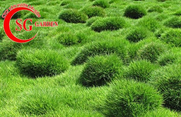 cỏ lông heo 6