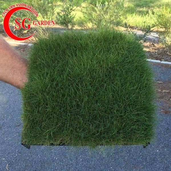 cỏ lông heo 8