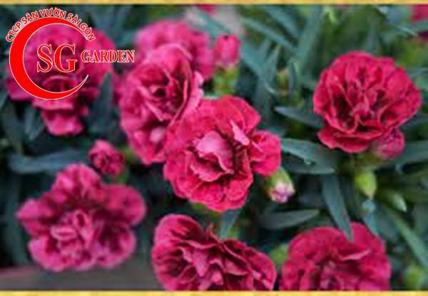 hoa cẩm nhung 10