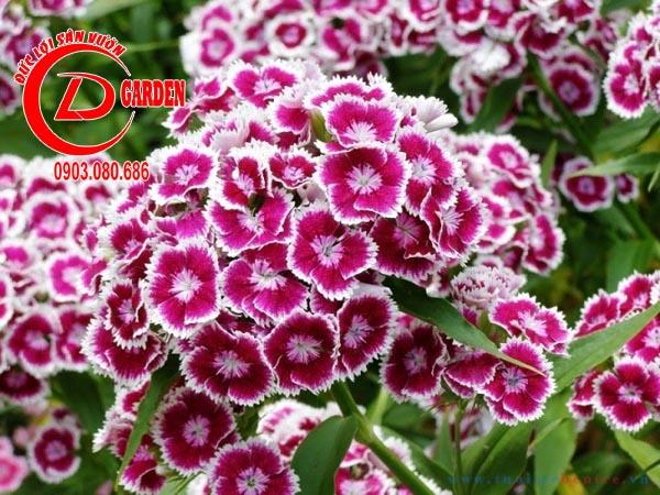 Hoa Cẩm Nhung 2