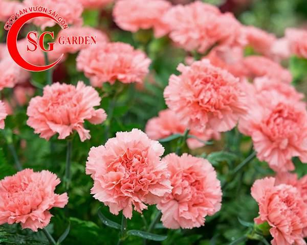 hoa cẩm nhung 5