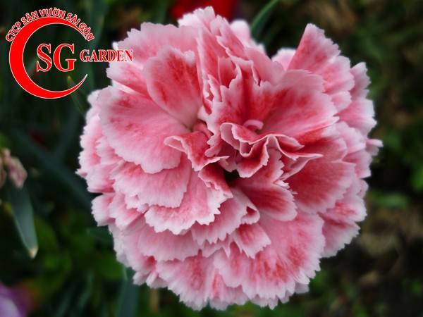 hoa cẩm nhung 7