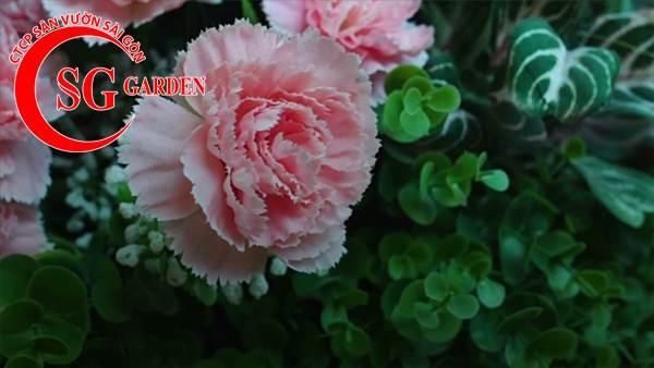 hoa cẩm nhung 8
