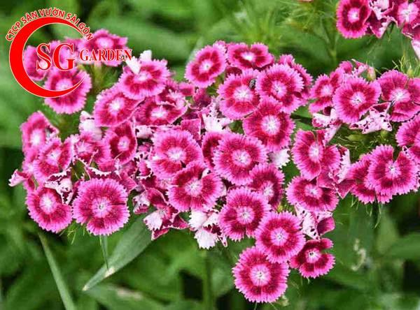 hoa cẩm nhung 9