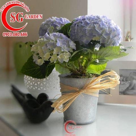 Hoa Cẩm Tú Cầu 2