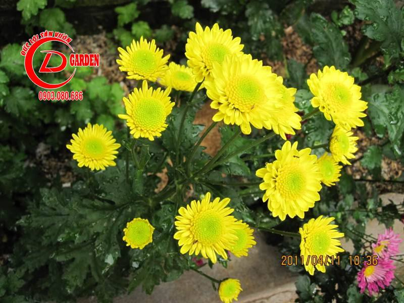 Hoa Cúc Vàng 2