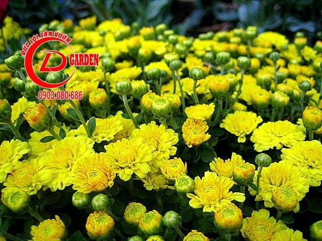 Hoa Cúc Vàng 4