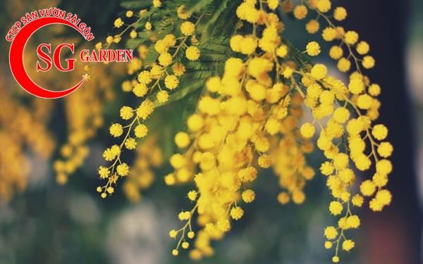 hoa mimosa 1