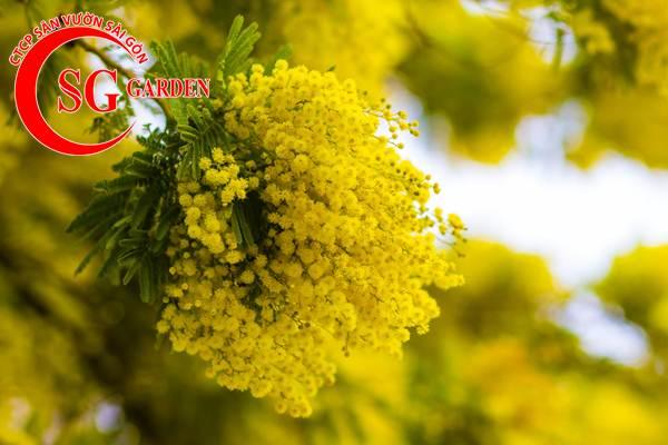 hoa mimosa 11
