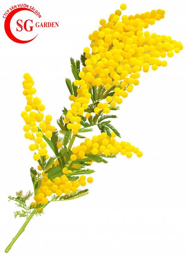 hoa mimosa 12
