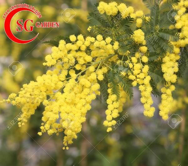 hoa mimosa 2