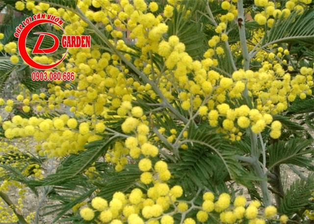 Hoa Mimosa 3