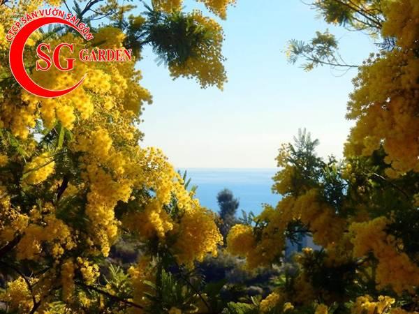 hoa mimosa 4