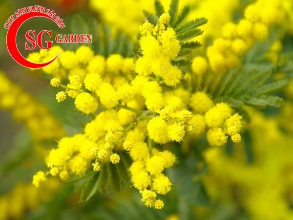 hoa mimosa 5