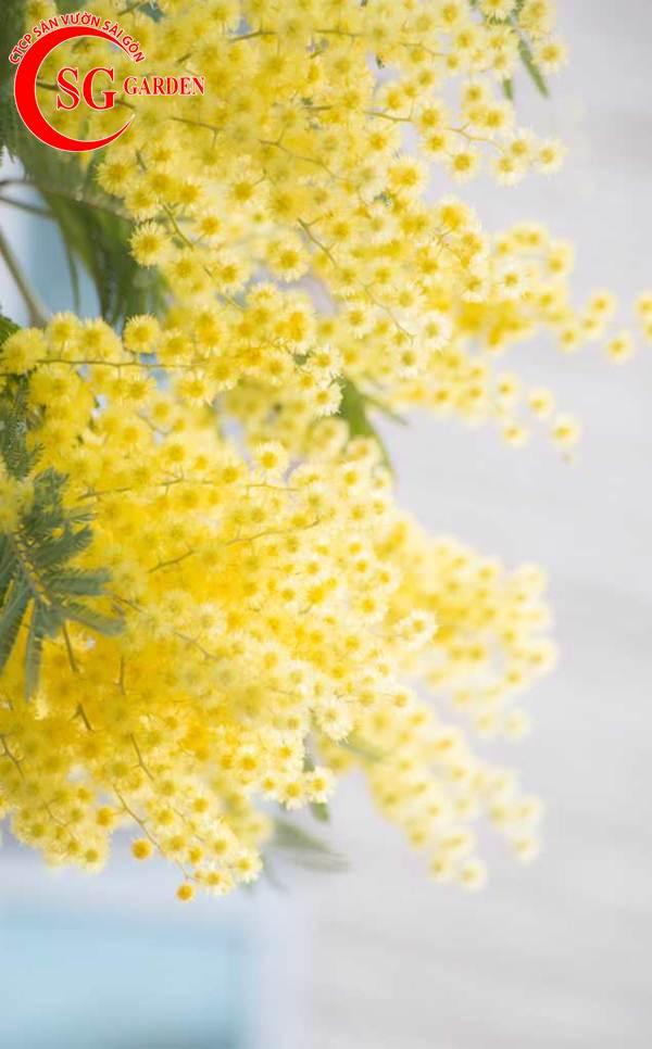hoa mimosa 6