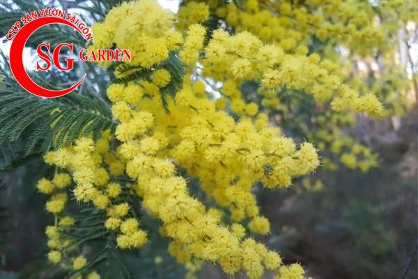 hoa mimosa 7