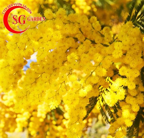 hoa mimosa 8