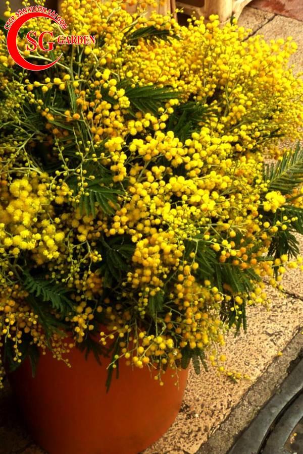 hoa mimosa 9