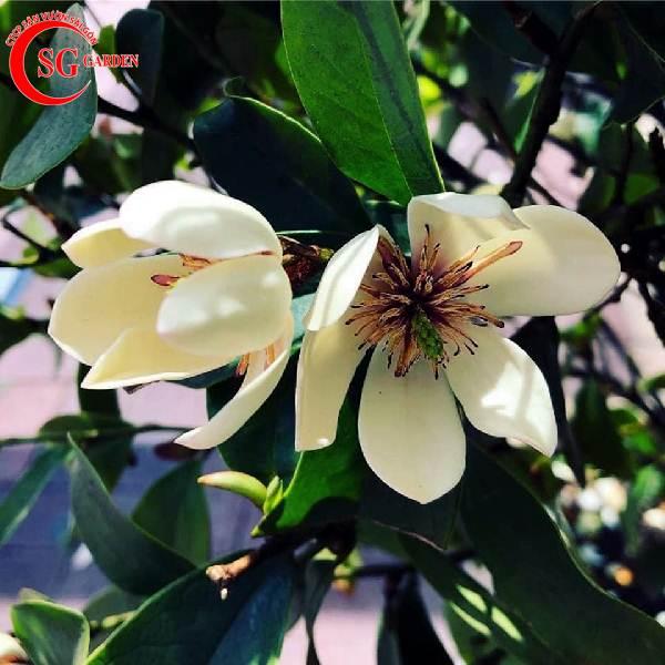cây dạ hợp hương