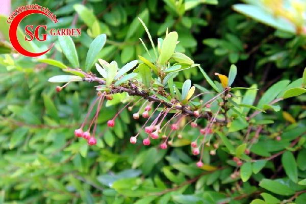 cây diệp hạ châu 14