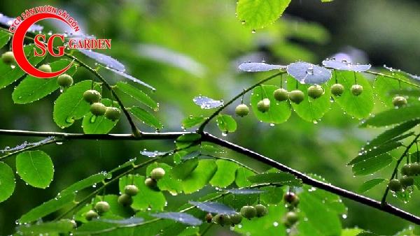 cây diệp hạ châu 6