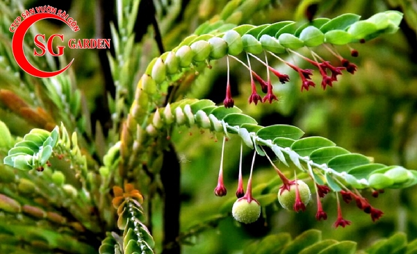 cây diệp hạ châu 7