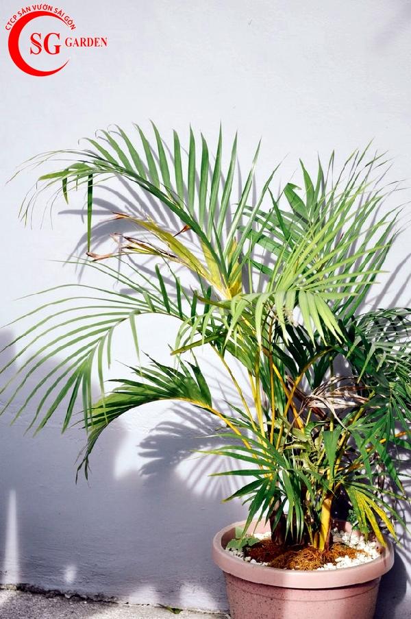 cây cọ dừa