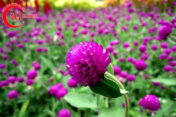 hoa cúc bạch nhật