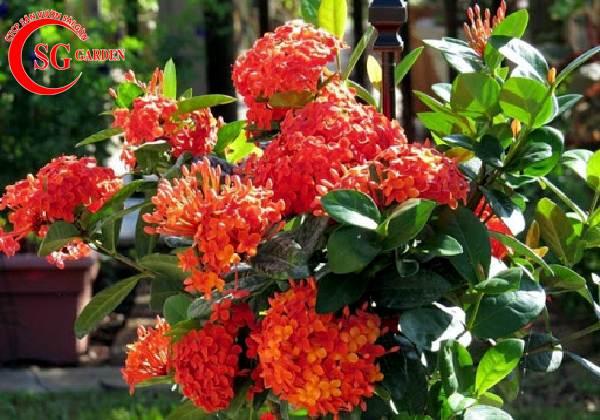cây hoa mẫu đơn