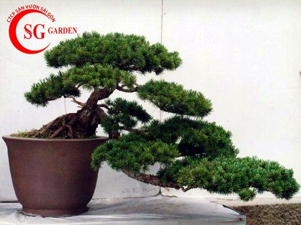 cây tùng la hán 10