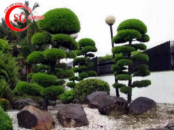 cây tùng la hán 11