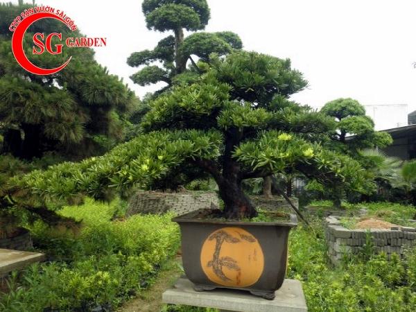 cây tùng la hán 13