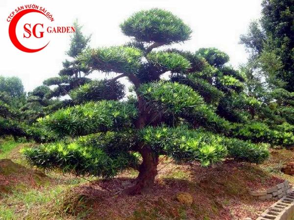 cây tùng la hán 14