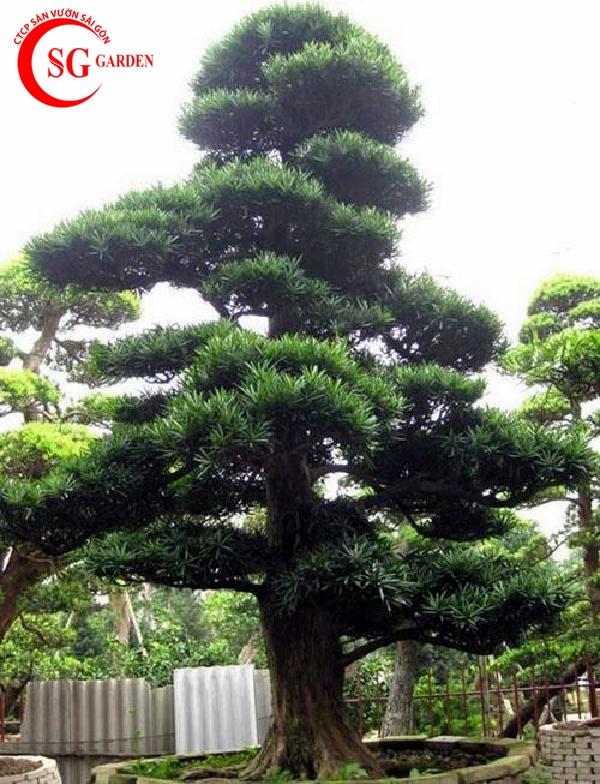 cây tùng la hán 15