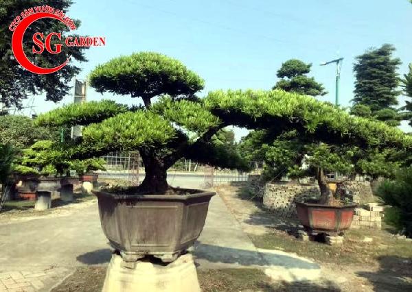 cây tùng la hán 18