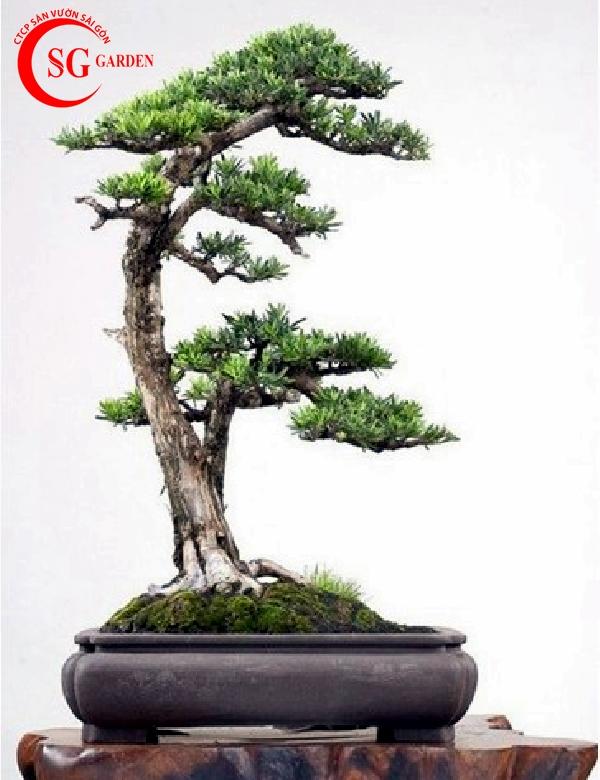 cây tùng la hán 19