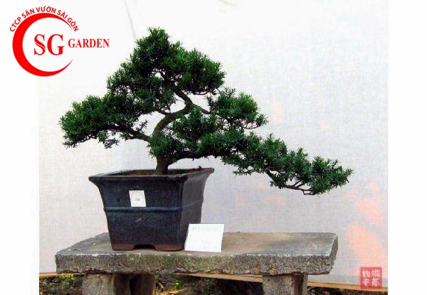 cây tùng la hán 3