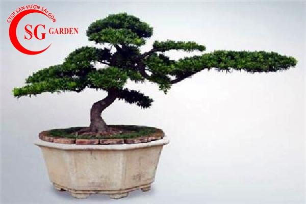cây tùng la hán 4