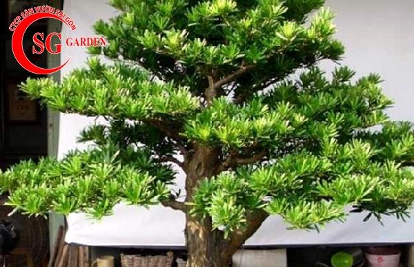 cây tùng la hán 6
