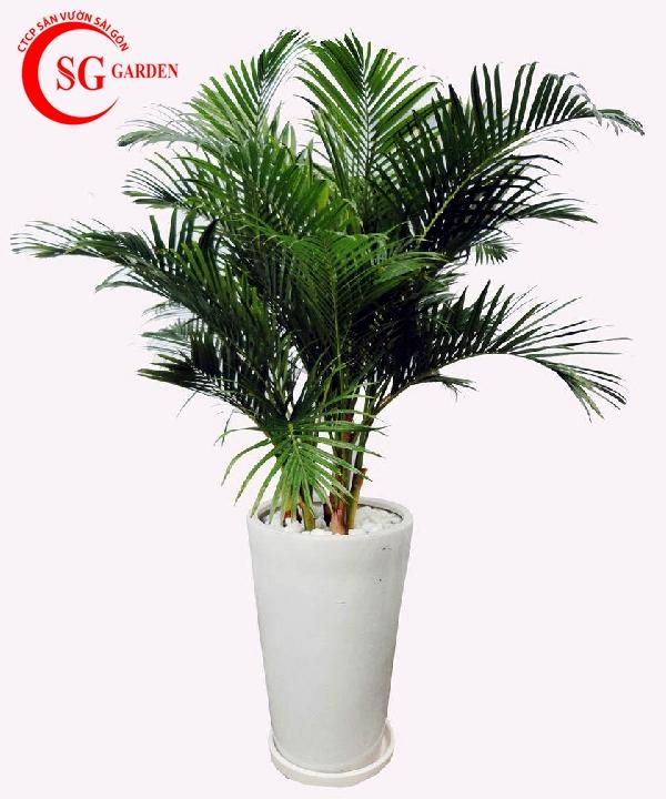 cây dừa cảnh 3