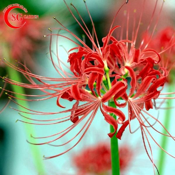 hoa bỉ ngạn 3