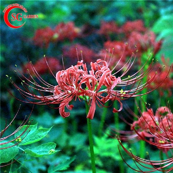 hoa bỉ ngạn 4