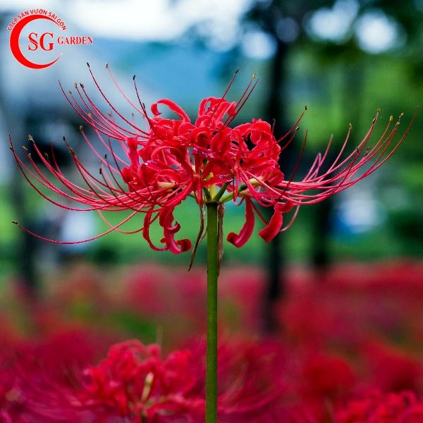 hoa bỉ ngạn 2
