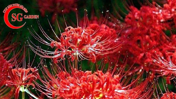 hoa bỉ ngạn 6