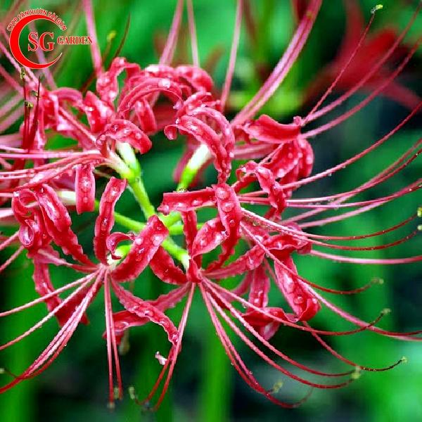 hoa bỉ ngạn 15