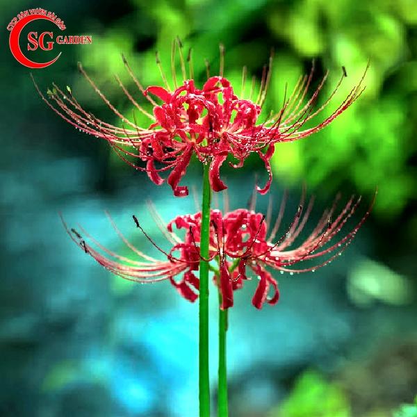 hoa bỉ ngạn 16