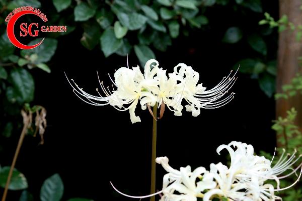 hoa bỉ ngạn 10